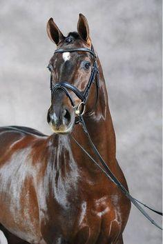 Dark Chestnut Stallion - named Blickpunkt
