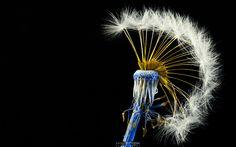 centaureidin dandelion mohawk flower