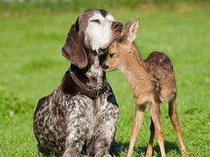 Dog and baby deer animals friendship hd wallpaper hd nature Baby Animals, Funny Animals, Cute Animals, Nature Animals, Wild Animals, I Love Dogs, Cute Dogs, Funny Dogs, Funny Memes