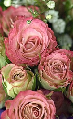 """""""English roses"""" Roses are some of my favorite flowers! Love Rose, My Flower, Pretty Flowers, Flower Power, Cactus Flower, Pink Roses, Pink Flowers, Exotic Flowers, Yellow Roses"""