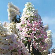 Orna Hortensie WHITE Moth ® Hydrangea paniculata WHITE Moth ®