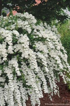 Prized for its stunning spring floral display and ease of care and longevity, heralding the arrival of spring, Van Houtte is a Bridal Wreath Spirea that. Garden Shrubs, Beautiful Gardens, White Flowers, Spirea, White Plants, Plants, Moon Garden, Dream Garden, White Gardens