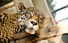 ONÇA PINTADA #zoo#onça