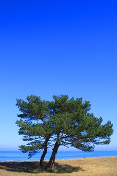Ostsee / Prerow... Yes, this is what all the trees look like on the island, because of the North Sea Winds....