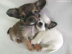 CUTE TEACUP PUPPIES SNUGGLING TOGETHER