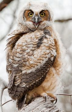 young Great Horned Owl by Robert DeCandido