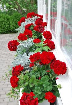 a European look of Red Geraniums and Artemisia ludoviciana Silver Queen (Dusty Miller).such a European look of Red Geraniums and Artemisia ludoviciana Silver Queen (Dusty Miller). Container Plants, Container Gardening, Container Flowers, Succulent Containers, Vegetable Gardening, Organic Gardening, Beautiful Gardens, Beautiful Flowers, Red Flowers