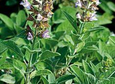 Kezeljük organikusan a kertet, zsályával - gazigazito. Organic Gardening, Plant, Organic Farming
