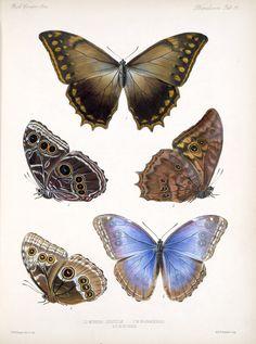 Morpho Genus in Biologia