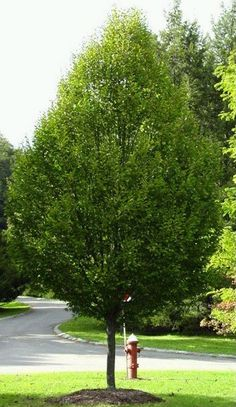 hornbeam tree | the european hornbeam is a columnar tree noted for its fine and dense ...