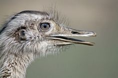 the rhea bird ,looks out of this world