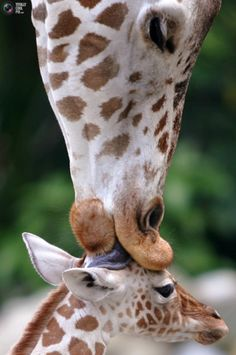 Giraffe kisses her baby - 19 Lovely Cute Animals Cute Baby Animals, Animals And Pets, Funny Animals, Wild Animals, Animals And Their Babies, Animals Kissing, Smiling Animals, Beautiful Creatures, Animals Beautiful