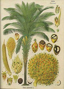 Dendezeiro, Elaeis guineensis