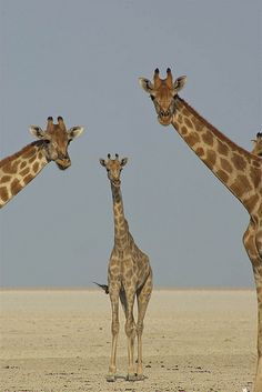 "Giraffes: ""Why is that 'WIldlife Photographer' pointing his camera at us?!"""