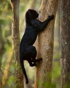 black panther animal Black Cat Magic: Cats Vs Panthers - I Can Has Cheezburger Cute Kittens, Cats And Kittens, Ragdoll Kittens, Tabby Cats, Bengal Cats, Siamese Cats, Kitty Cats, Black Animals, Animals And Pets