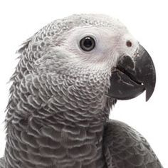 Find out what pet birds are most likely to talk, what easy words you should teach your pet parrot and more.