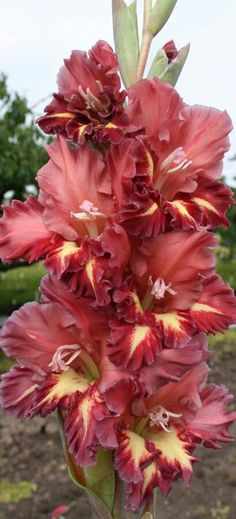 Garden Flowers - Annuals Or Perennials Gladioly All Flowers, Exotic Flowers, Amazing Flowers, Beautiful Flowers, Gladiolus Flower, Blossom Garden, Flower Photos, Trees To Plant, Garden Plants