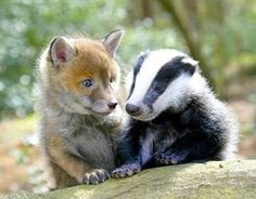 Red Fox Cub and Baby Badger