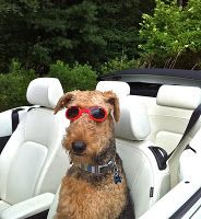 Life doesn't get much better than this....  going to cape may nj..u r a perfect cape may travel dog  www.capemaytraveldogs.com