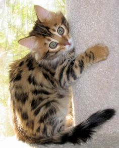 cashmere bengal kitten. I WILL have this! Crazy cat lady times, here I come! Lol