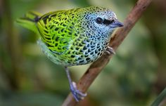 Spotted Tanager   Photo by Ion Moe. #Bird