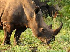 Remember that name. Kruger National Park, National Parks, Rhinoceros, Horn, Elephant, Africa, Adventure, Animals, Animales