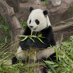 Gao Gao (pronounced Gow Gow), a geriatric male panda living at the San Diego Zoo, underwent a medical checkup on Tuesday, June 14, 2016, to allow animal care staff to get a close look at his heart. The giant panda, estimated to be 26 years old, was diagnosed with a... #gaogao #pandas #sandiegozoo