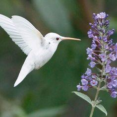 Albino hummingbird. Beautiful