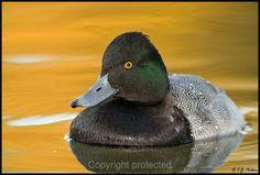 Lesser Scaup male Redhead Duck, Duck Species, Duck Hunting, Rifles, Ducks, Feather, Fur, Chicken, American