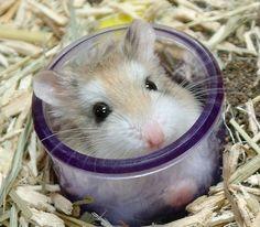 hamster roborowski - Buscar con Google