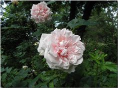'Thusnelda' (Hybrid Rugosa) Muller, Germany, 1886 - salmon-pink medium semi-double; once-blooming; canes are huge and thorny; Z6