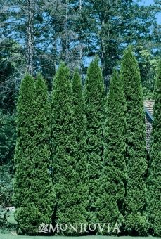 Rushmore Arborvitae -  Thuja occidentalis 'Rushmore  Moderate growing 12 to 20 ft. tall, 3 to 5 ft. wide.  Full sun, extremely hardy, zone 4-8