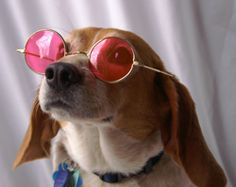 Nittany Beagle Rescue - Become a Member - Having a beagle is like looking at the world through rose-colored glasses.