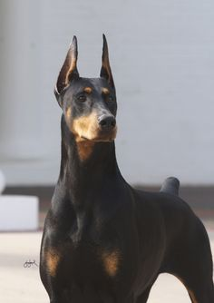Champion Doberman Pinscher Fifi, who is among the favorites at the Westminster Kennel Club 2013 dog show. The four-year-old is also known as the Fifinator.