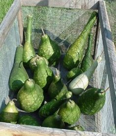 To cure gourds, they may be left outside, brought inside or left on the vine as long as the vine holds. When gourds are cut from the vine; they should be placed on pallets, screens, or any structure or support that allows the air to circulate around the gourds