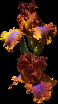 "Beautiful Bearded Irises - ""just passed by some of these in a neighbor's yard. They are stunning. Hadn't seen anything like them before!""  (neither have I!)"