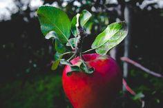 Mere - Oferta generoasă a toamnei Sănătate Bokeh Background, Background Images, Bokeh Png, Videos Bokeh, Bokeh Effect, Funny Photoshop, Hd Backgrounds, Wallpapers, Red Apple