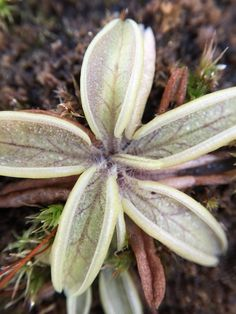 Pinguicula lusitanica has little hairs along the center of the leaf that force insects to be trapped along the margins.