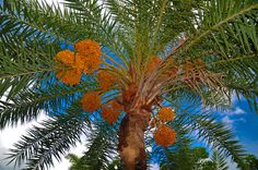 palm tree - Google Search