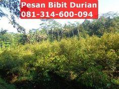 bibit durian montong asli siap krim ke seluruh indonesia, pesan eceran atau grosiran juga bisa, silahkan langsung hubungi Bpk.Nugroho : 0813-1460-0094 (sms, telepon, whatsapp)