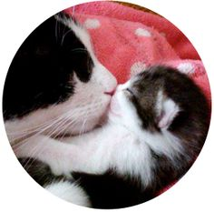 Cat mama gives her baby a kiss and all the love in this world, getting him ready for a nap. Love cats!!