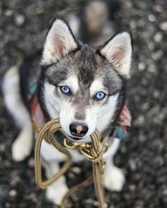 "Acquire excellent recommendations on ""siberian husky dogs"". They are on call for you on our website. Acquire excellent recommendations on ""siberian husky dogs"". They are on call for you on our website. Huskies - My favorite Wolf Husky, Siberian Husky Dog, Cute Husky, Husky Puppy, Pomeranian Puppy, Cute Puppies, Cute Dogs, Dogs And Puppies, Doggies"