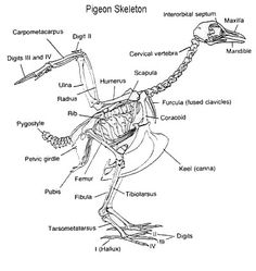 human body labeled skeleton labeled skeleton biology rh pinterest com Cat Skeleton Diagram Avian Skeleton Diagram