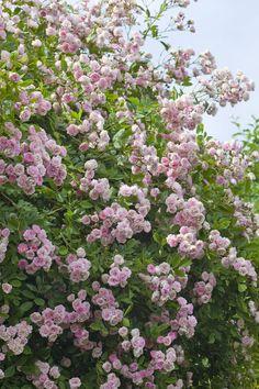 rambler rose 39 paul 39 s himalayan musk rambler 39 1 pflanze jetzt g nstig in ihrem mein sch ner. Black Bedroom Furniture Sets. Home Design Ideas