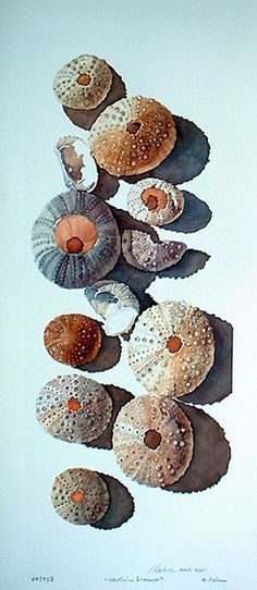 Elaine Hahn. The shells of sea urchins.