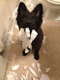 Cutest and Naughty German Shepherd Pup