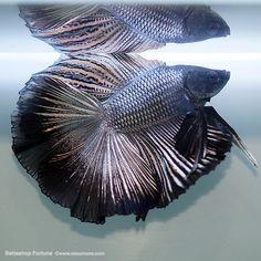 ブラックカッパー・クラウンテール|ひらひらショーベタ||熱帯魚のことなら『みずものコム』