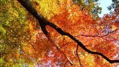 Japan- Sherbert Tree
