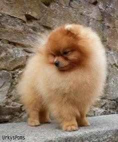 Pomeranian | De Urkys Poms