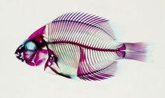 Madagascar cichlid